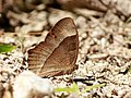 Red disc bush brown Anamudi shola Kerala IMG 1738.jpg