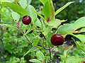 Red huckleberry.jpg