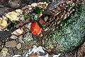 Red sea cucumbe (41350642010).jpg