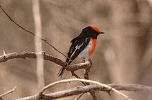 A small red and black plumaged bird is perched on a branchlet against a background of small bare branchlets in a tree.