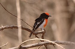 Adult male Red-capped Robin perched on a branch