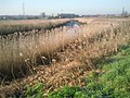 Reed beds alongside the River Cray - geograph.org.uk - 2326336.jpg