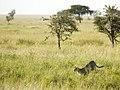 Rennende cheetah! (6693819689).jpg