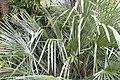 Rhapidophyllum hystrix 16zz.jpg