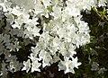 Rhododendron Annamaria A.jpg
