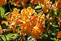 Rhododendron Aromi Sunrise 0zz.jpg