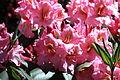 Rhododendronpark Bremen 20090513 160.JPG