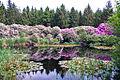 Rhododendrons rond bosven Schipborg.jpg