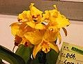 Rhyncattleanthe Love-Love 'Yellow Bird' -台南國際蘭展 Taiwan International Orchid Show- (39011129580).jpg