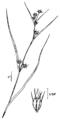 Rhynchospora capitellata NRCS-2.png