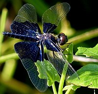 Rhyothemis triangularis female.jpg