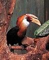 Rhyticeros plicatus.jpg