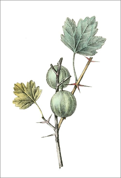 Ribes uva crispa (Thory - fig12).jpg