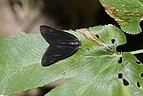 Ricaniidae 5513.jpg