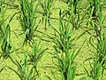 Rice Stalks in Paddy - Outside Srimangal - Sylhet Division - Bangladesh (12904994963).jpg