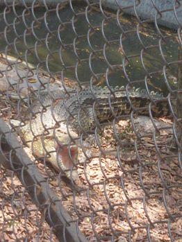 Roaring Crocodile.jpg