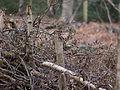 Robin on stump (6958261274).jpg