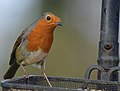 Robin on tray (11551279226).jpg