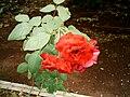 Rosa Vermelha.jpg