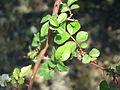 Rosa jasminoides leaves.JPG