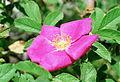 Rosa majalis.jpg