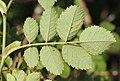 Rosa rubiginosa leaf (07).jpg