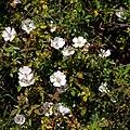 Rosa sempervirens L.-Églantier sempervirent-20210605.jpg