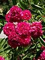 Rosarium Baden Rosa 'Crimson Rambler' Turner 1894 01.jpg