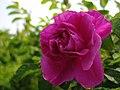 Rose Rosa rugosa バラ ロサ・ルゴサ(チャイナ) (7196479006).jpg