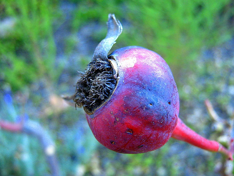 File:Rose hip.jpg