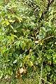 Rubus cissoides kz11.jpg