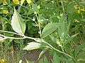 Rudbeckia laciniata0.jpg