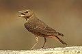 Rufous-tailed Lark Ammomanes phoenicura by Dr. Raju Kasambe DSCN5048 (4).jpg