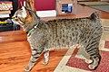 Rumpy Riser Manx Kitten.jpg