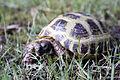 Russian Tortoise.jpg