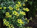 Ruta graveolens flowers1.JPG
