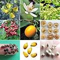 Rutaceae f, f and s.jpg