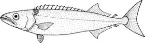 Oilfish - Image: Ruvettus pretiosus (oilfish)