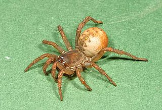 suborder of arachnids