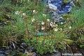 SAXIFRAGA AIZOON. (Paniculata).jpg