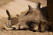 A warthog relaxing during a hot day at San Diego Zoo, California, USA