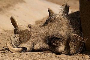 A warthog (Phacochoerus africanus) taking refuge from the hot sun