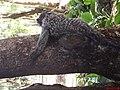 Sagui com filhote em cima da mãe (Callithrix penicillata) - Parque Curupira - Ribeirão Preto - panoramio.jpg