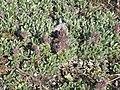 Salix arctica-MW0158266-live.jpg