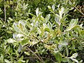 Salix cantabrica. Salguera cantabrica.jpg