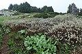 Salix lapponum kz04.jpg