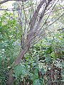 Salix lasiandra (5014370279).jpg