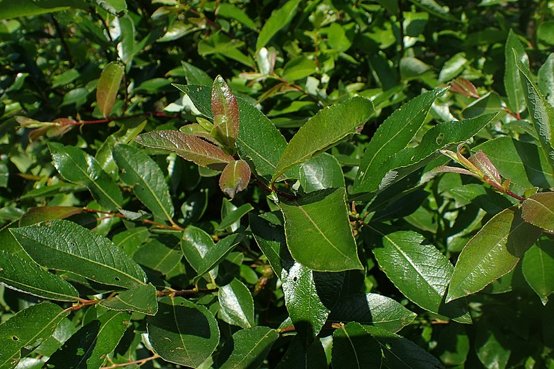 File:Salix myrsinifolia kz01.jpg