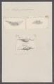 Salpa fusiformis - - Print - Iconographia Zoologica - Special Collections University of Amsterdam - UBAINV0274 092 08 0027.tif