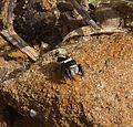 Salticidae. Jumping Spider . Pellenes sp. - Flickr - gailhampshire.jpg